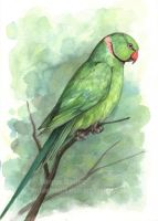 Rose Ringed Parakeet by Pannya