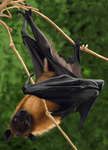 Gray headed flying fox by shorty-antics-27