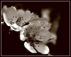 Cherry Blossoms II by rockgem