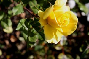 Rose 3 by GLO-HE