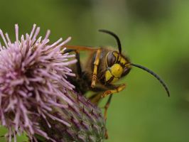 Wasp close up. by davepphotographer
