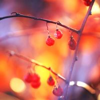 Red Berries by incolor16