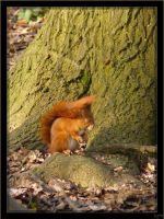 Red squirrel - 2 by J-Y-M
