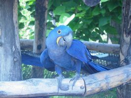 Pose-For-Me Hyacinth Macaw by MagicalMelonBall