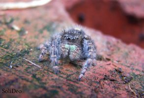 Cute Little Wolf Spider by SoliDeo