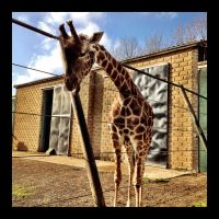 Giraffe by Seventy-Eight