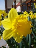 Yellow Daffodils 2 by theNanna