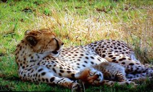 Mother Cheetah and Cub by Hijinata