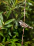 Common whitethroat by 75ronin