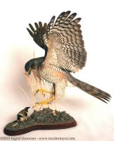 Taxidermy - Sparrowhawk + prey by Illahie