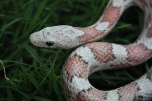 Cinny - Hypo Cinder Corn Snake by icantthinkofaname-09