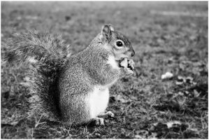 Squirrel by carlywestmacott