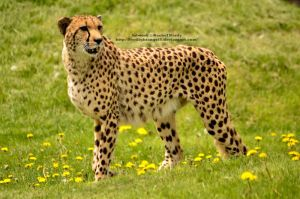 African Cheetah by 8TwilightAngel8