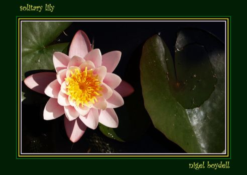 Solitary Lily by photonig