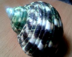 Shell by Clangston