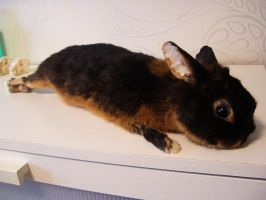 Black and Tan Bunny Soft Mount Commission by DeerfishTaxidermy
