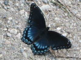 red spotted purple butterfly by KANUTA