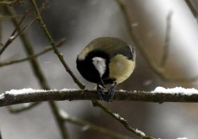 A rounded tit by karliosi