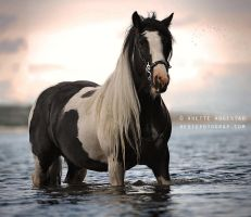The Gypsy Vanner by Hestefotograf