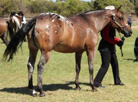 Appaloosa by hp-zafira