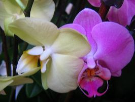 Yellow And Purple Orchid 9. by AngelTimi88