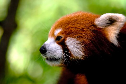 Red Panda by CJBEdwards