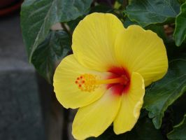 Hibiscus1 by cazcastalla