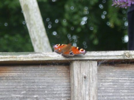 Peacock Butterfly on Top of Fence by Captain-Art-hero