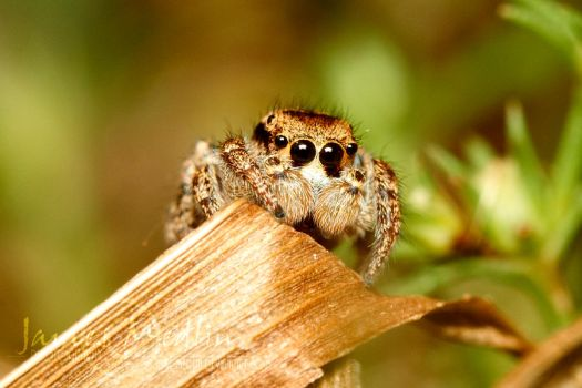 jumping spider 60 by JamesMedlin