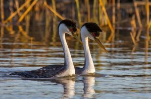 Western Grebes by Grouper
