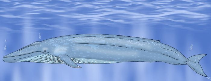 Blue whale by TrefRex