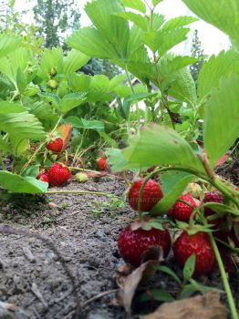 Strawberry Patch at ground level by MogieG123