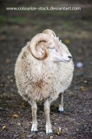 Sheep stock 5 by Colourize-Stock