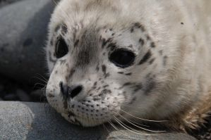 Baby Seal by hsapp