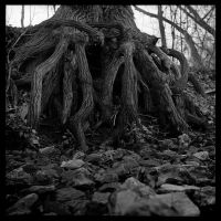 2012-342 Roots by pearwood