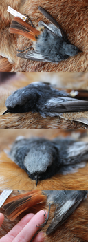 Common Redstart Skin by CheeTaxi