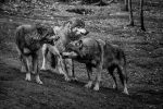 Wolves in Disagreement by amrodel