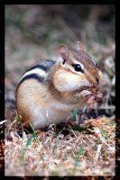 Chippy the Chipmunk I by Nix-alba