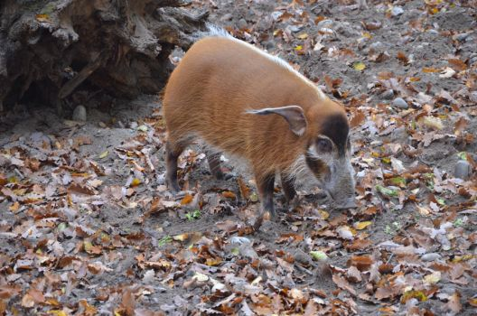 Red river hog by grayscalefox