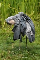 Schuhschnabel / Shoebill by bluesgrass