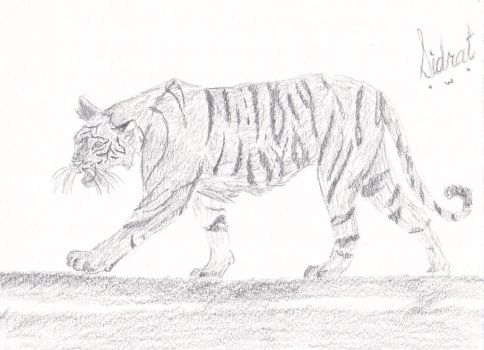 Full Body Tiger Anatomy Practice by Sidrat-Habib