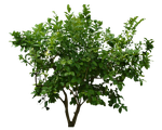 Bush PNG Stock 3 by Gilgamesh-Art-IQ