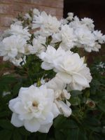 White roses by Twister4evaSTOCK