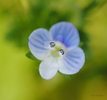 Creeping Speedwell by areichard1