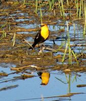 Yellow Headed Blackbird by dreaming-of-serenity