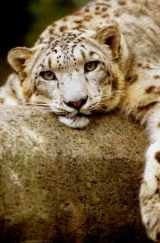 Snow Leopard by Art-Photo