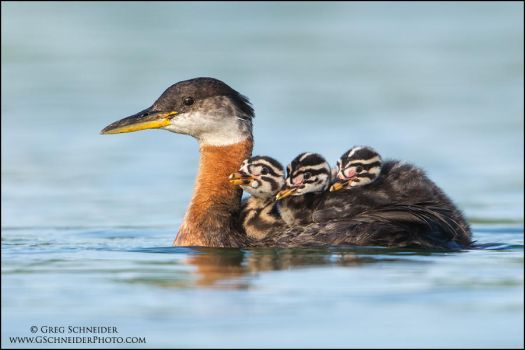 Red-necked Grebe water taxi by gregster09