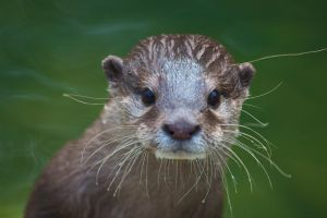 Otter II by Tygrik