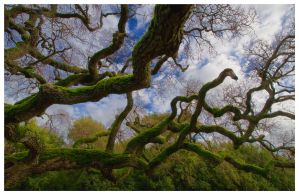 Grand Old Oak by themobius