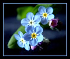 Forget Me Not by Pjharps